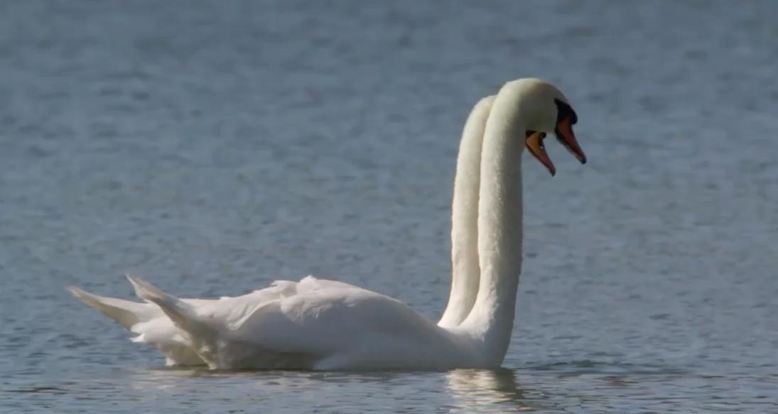 Swan Waltz